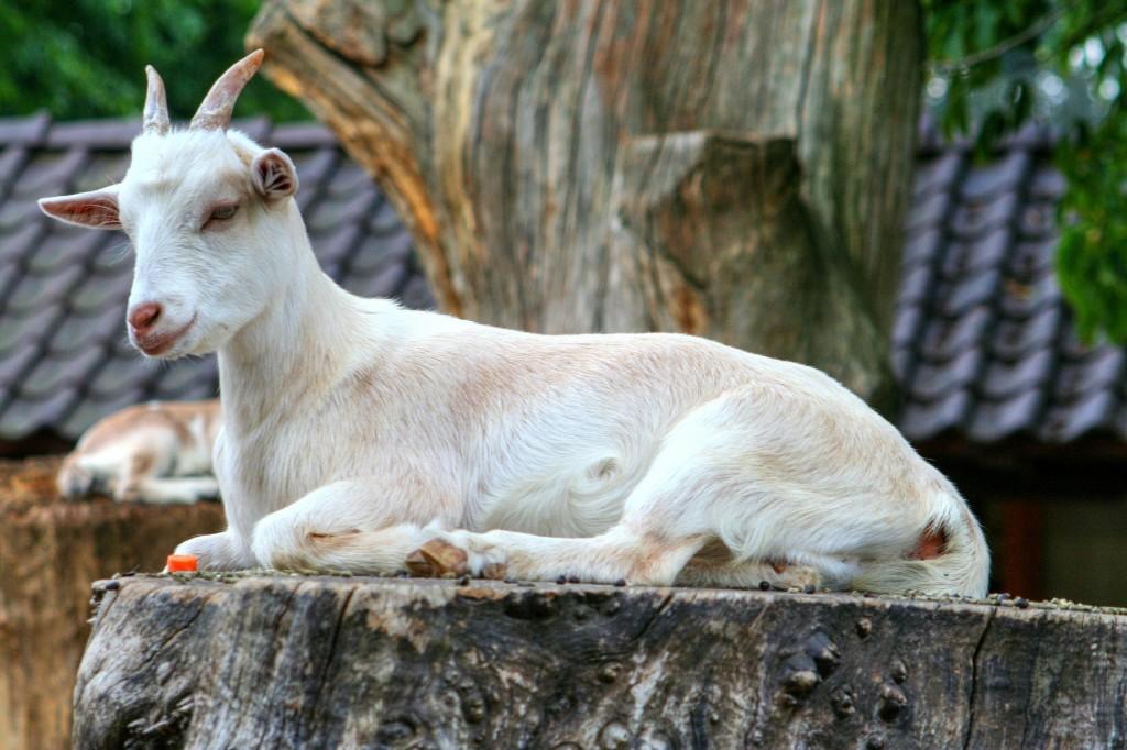 goat-208440_1920