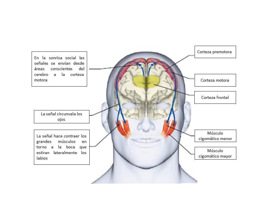 Vistoso Anatomía Hizo Ridículamente Simple Patrón - Imágenes de ...