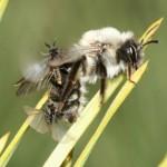 Machos tratando de acceder a una hembra dentro de la abeja andrena. W. Rutkies