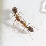 Hormigas carpinteras Camponotus floridanus besándose. Foto A. LeBoeuf