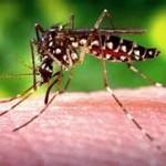 Transmisor del zika, Aedes aegypti. Foto CDC