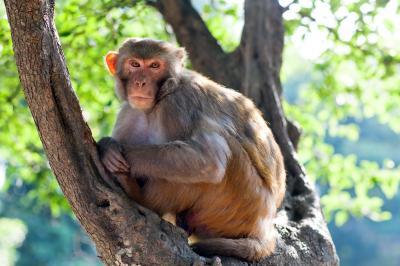 Un resu macaco. Foto cortesía