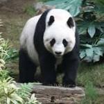 Un patrón de coloración único en la naturaleza, el del panda. Foto Wikipedia