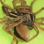 Las tres arañas en el apareamiento. Foto M. Persons