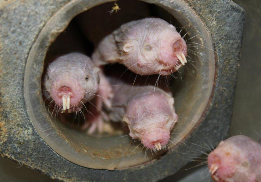 Ratas topo viven hacinadas. Foto Thomas Mark