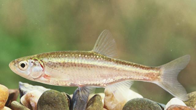 S. alburnoides. Foto I. Catalao