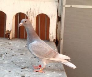 Línea de palomas Juan Sepúlveda, colombófilo antioqueño, con décadas de trabajo permanente. Hoy socio del AMA.