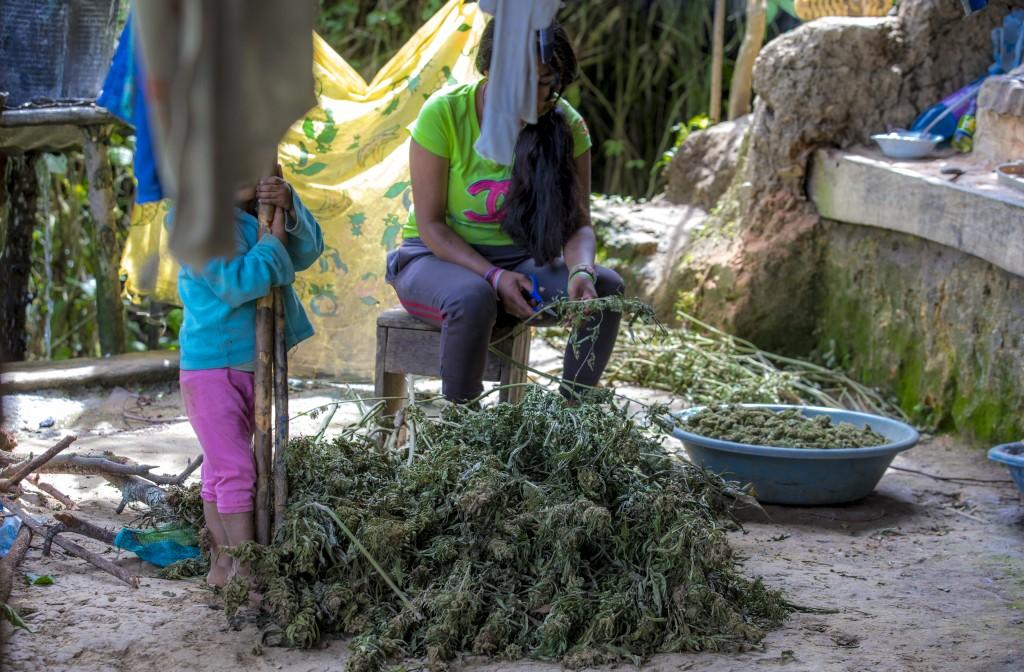 En el norte de Cauca, el cultivo y recolección de la cripa está en manos de campesinos e indígenas de bajos recursos económicos. Foto de Juan Antonio Sánchez.