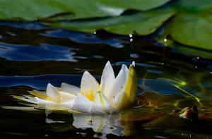 waterlily-2787638_960_720